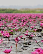 Sea of Pink Lotus, Thailand mural wallpaper thumbnail