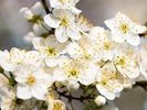 White Spring Flowers wall mural thumbnail