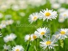 Spring Flowers Marguerites wall mural thumbnail