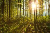 Forest Sunlight mural wallpaper thumbnail