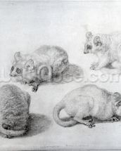 Studies of a Lemur, 1773 (graphite on paper) wall mural thumbnail