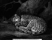 A Sleeping Leopard, engraved by the artist, pub. 1791 (etching) wall mural thumbnail