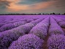 Fields of Lavenders wall mural thumbnail