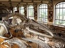 Dinosaur Skeleton, Paris Museum wall mural thumbnail
