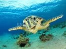 Hawksbill Sea Turtle wall mural thumbnail