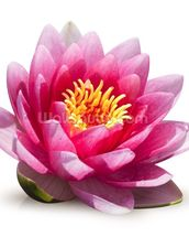 Lotus Flower Solitude wallpaper mural thumbnail