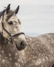 Dappled Grey Mare Wallpaper Mural | Equine Murals