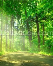 Forest Path in Sunshine wall mural thumbnail