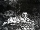 Two Tigers, 1788 (engraving) mural wallpaper thumbnail