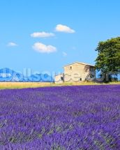 Provence - Lavender Flowers wall mural thumbnail
