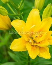 Yellow Lily mural wallpaper thumbnail