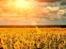 Summer Sunflowers wall mural thumbnail