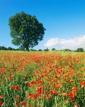 Sunny Spring Poppies wallpaper mural thumbnail