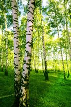 Birch Woodland wallpaper mural thumbnail