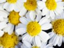 Summer Daisies - Cluster Of White Blossoms wall mural thumbnail