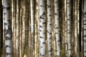 Birch Trees mural wallpaper thumbnail