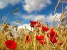 Wild Poppies in Wheat Field wall mural thumbnail