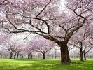 Trees in Blossom wall mural thumbnail