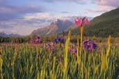 Wild Iris Blooming In Front Of Pioneer Peak wall mural thumbnail