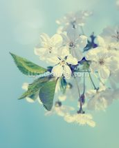 Cherry Blossoms mural wallpaper thumbnail