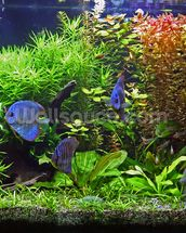 Aquarium with Discus Fish wallpaper mural thumbnail