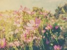 Cosmos Flowers and Sunlight Vintage Tones wall mural thumbnail