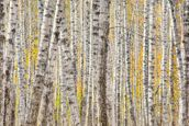A Poplar Tree Forest In Autumn wall mural thumbnail