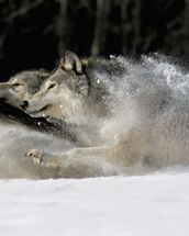 Pack Of Grey Wolves Running Through Deep Snow wall mural thumbnail