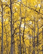 Autumn Scenic Of Colorful Yellow Aspen Trees wall mural thumbnail