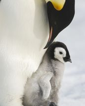 Adult Emperor Penguin and Chick mural wallpaper thumbnail