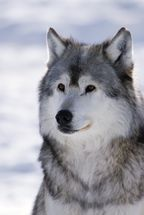 Gray Wolf Winter Portrait wall mural thumbnail