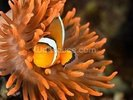 Clownfish in Marine Aquarium wall mural thumbnail