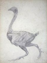 Study of a Fowl, Lateral View, with skin and underlying fascial layers removed, from A Comparative Anatomical Exposition of the Structure of the Human Body with that of a Tiger and a Common Fowl, 1795-1806 (graphite on heavy wove paper) wallpaper mural thumbnail