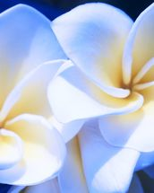 Detail Of White Plumeria Flowers wall mural thumbnail