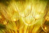 Soft Dandelion Flowers mural wallpaper thumbnail
