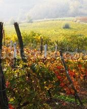 Vineyard in Bloom wall mural thumbnail
