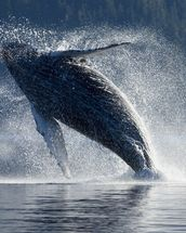 Humpback Whale Breaching - The Inside Passage mural wallpaper thumbnail