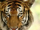 Tiger Close Up wall mural thumbnail