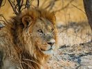 Lion in Africa wall mural thumbnail