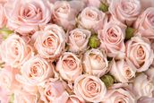 Bright Pink Roses mural wallpaper thumbnail