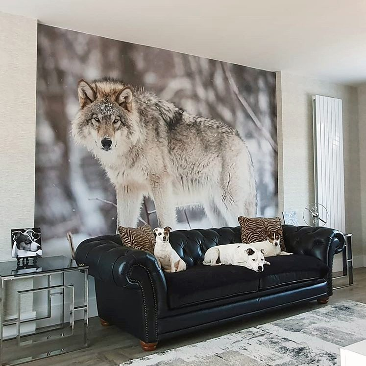 white and grey wolf in snow wallpaper in black and white living room
