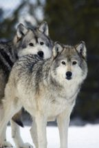 Gray Wolves in Winter at Grizzly and Wolf Center mural wallpaper thumbnail