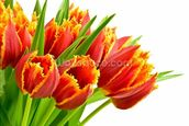 Orange Tulips wallpaper mural thumbnail