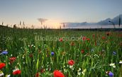 Poppy Fields wall mural thumbnail