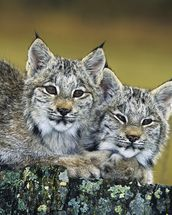 Lynx Kittens Cuddled Together On Rock mural wallpaper thumbnail