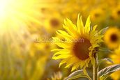 Sunflower Meadow mural wallpaper thumbnail