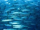 Barracuda Fish wall mural thumbnail
