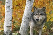 Wolf In Forest Autumn - Minnesota mural wallpaper thumbnail