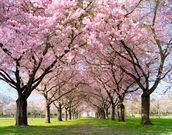 Cherry Blossom Trees wallpaper mural thumbnail