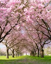 Cherry blossom trees wall mural cherry blossom trees for Cherry blossom wallpaper mural